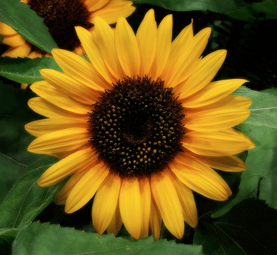Sunflower showing organization of seeds